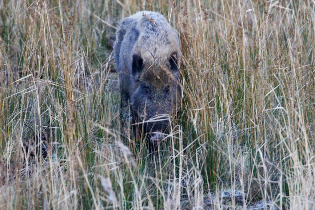 Wildschwein ©M. Müller