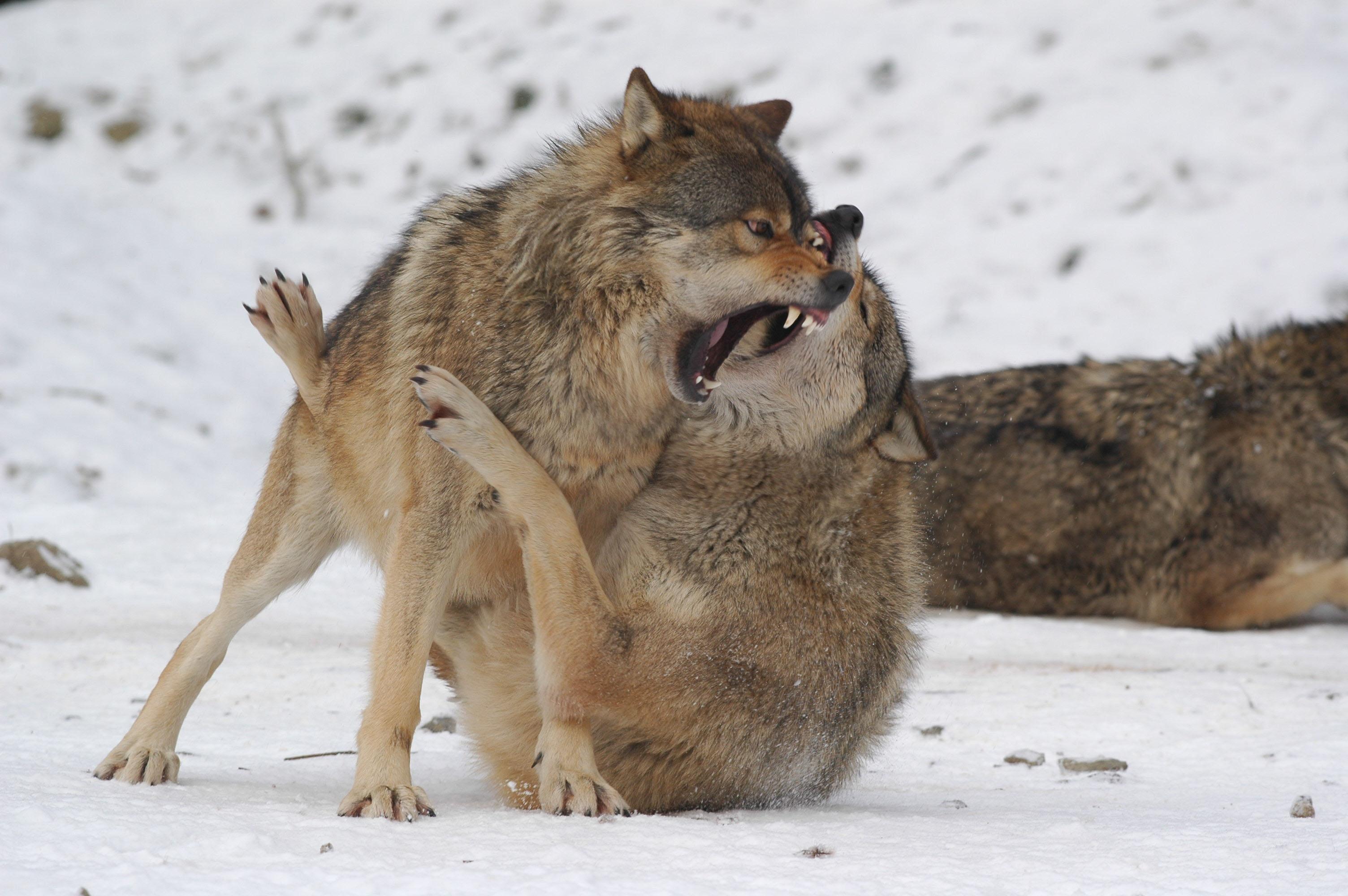 Niedlich Malvorlagen Wolf Fotos - Malvorlagen Von Tieren - ngadi.info